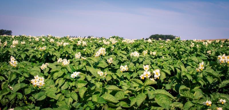 Flores en una planta de patata imagen de archivo