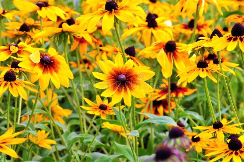 Flores ensolaradas da beleza de meu quintal fotos de stock royalty free