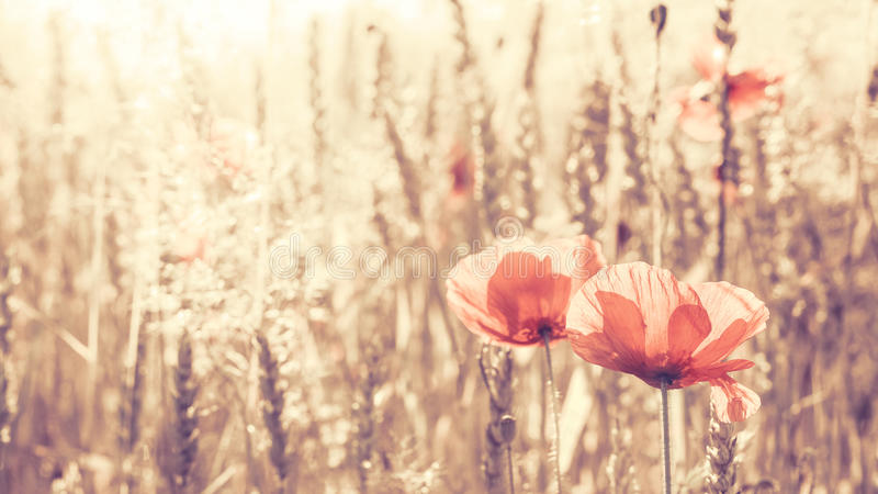 Flores entonadas retras de la amapola en la salida del sol fotografía de archivo