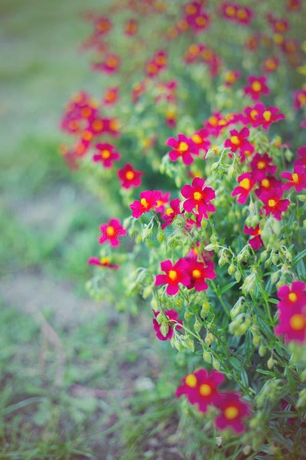 Flores escuro-vermelhas pequenas no jardim no verão no dia ensolarado, cor vibrante foto de stock
