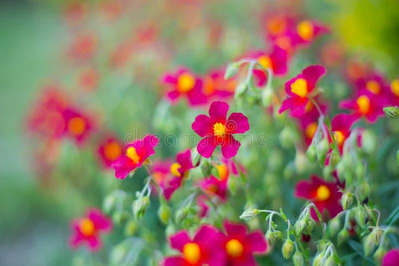 Flores escuro-vermelhas pequenas no jardim no verão no dia ensolarado, cor vibrante fotografia de stock