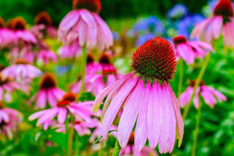 Flores espectaculares y hermosas en el jardín botánico del ³ n de Gijà el 1 de agosto de 2018 imagen de archivo