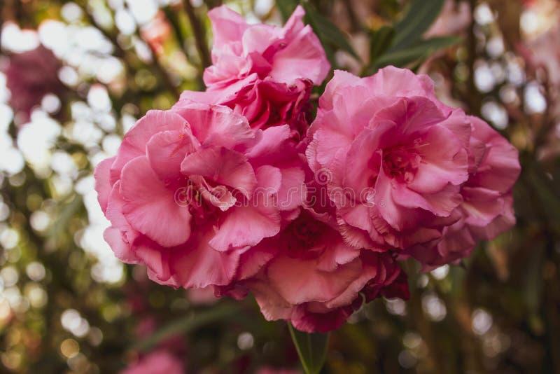 Flores exóticas rosadas hermosas con las hojas verdes enormes en un fondo del follaje Primer delicado de Bush color de rosa fotografía de archivo