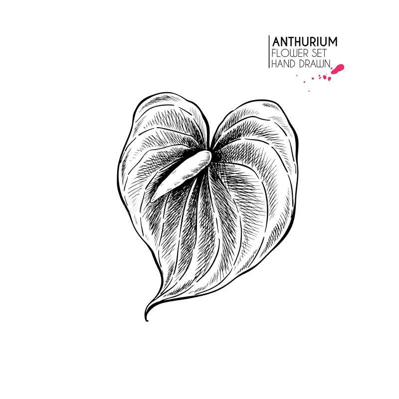 Flores exhaustas del otoño de la mano Flor del Anthurium Arte grabado vintage Ejemplo bot?nico Bueno para la floristería libre illustration