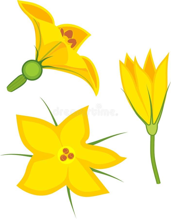 Flores fêmeas e masculinas amarelas da abóbora ilustração royalty free