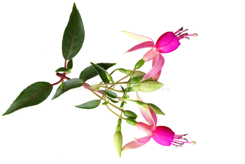 Flores fúcsia cor-de-rosa foto de stock royalty free