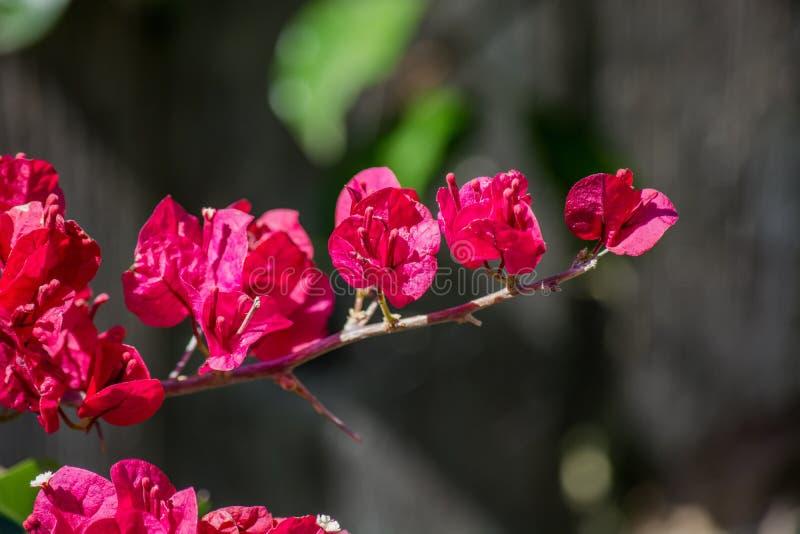 Flores fúcsia da buganvília imagens de stock