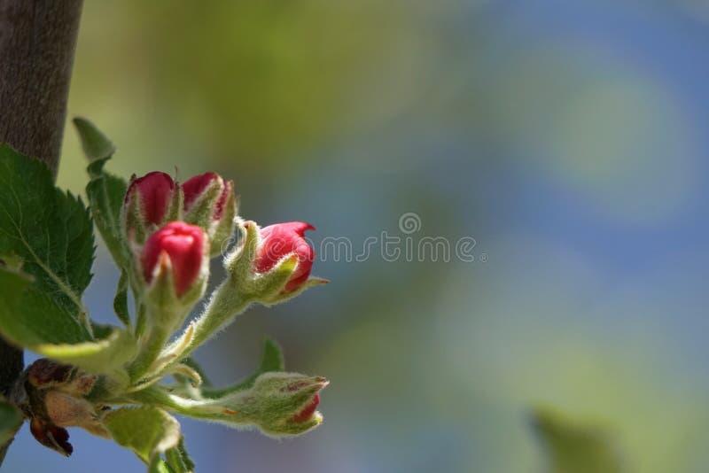 Flores fechados de Apple foto de stock royalty free