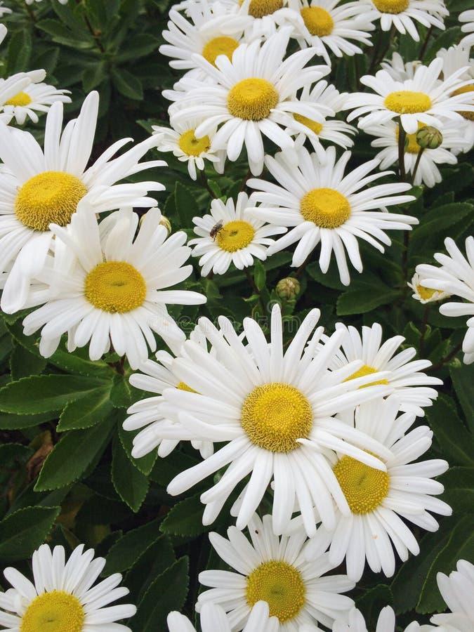 Download Flores felizes imagem de stock. Imagem de daisies, daylight - 65579393