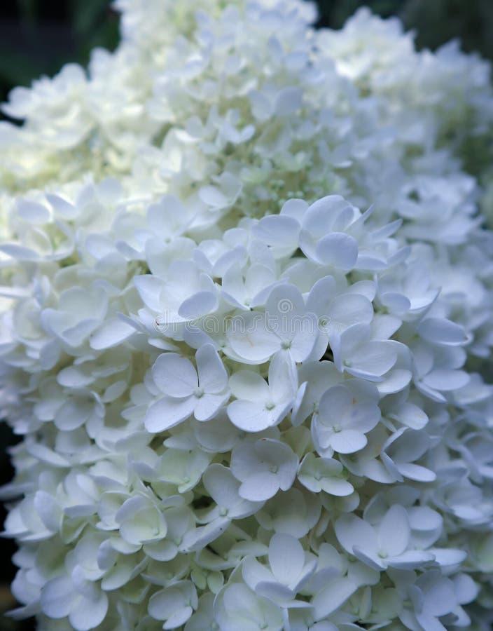 Flores finas puras blancas hydrangea imagen de archivo libre de regalías