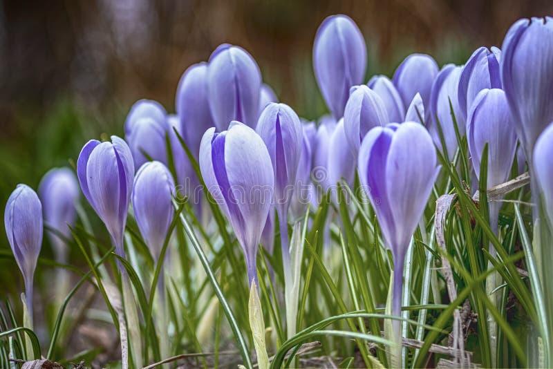 Flores florales de la lila del paisaje de la naturaleza de la primavera Crepúsculo apacible soñador en el foco suave del bosque fotos de archivo