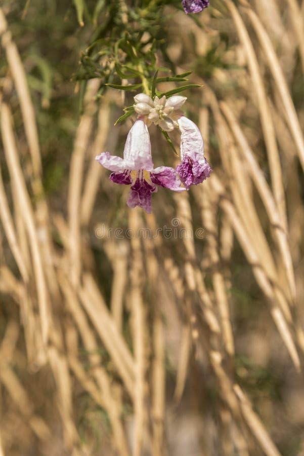 Flores florales del árbol en el coto del Mojave del depósito de Kelso foto de archivo libre de regalías