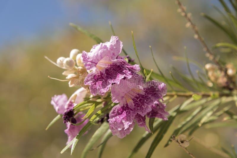 Flores florales del árbol en el coto del Mojave del depósito de Kelso imagen de archivo libre de regalías