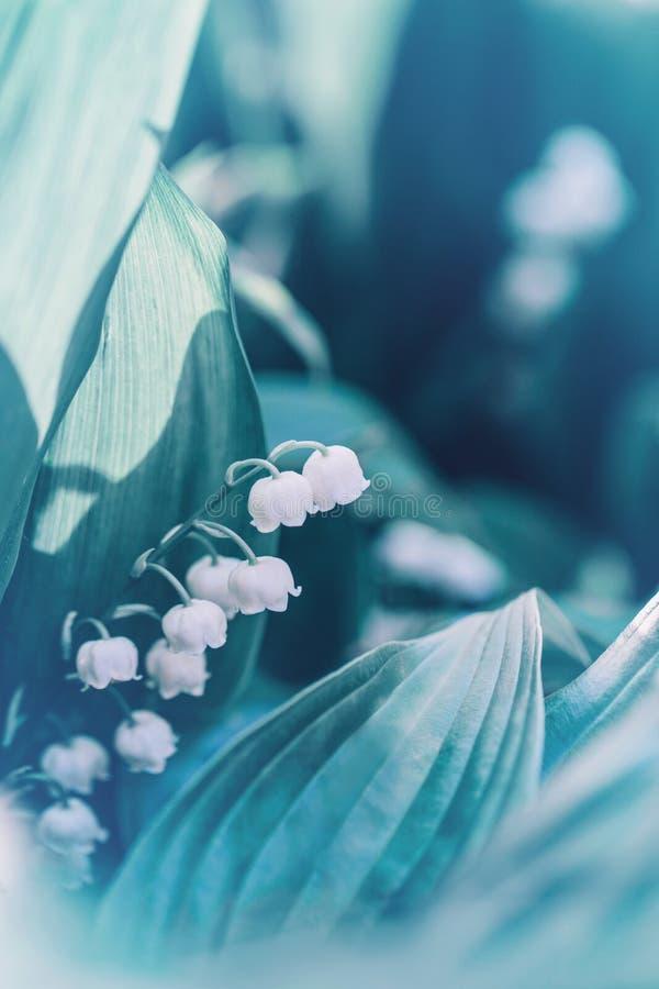 Flores florecientes blancas hermosas del lirio de los valles con las hojas verdes en fondo borroso fotos de archivo