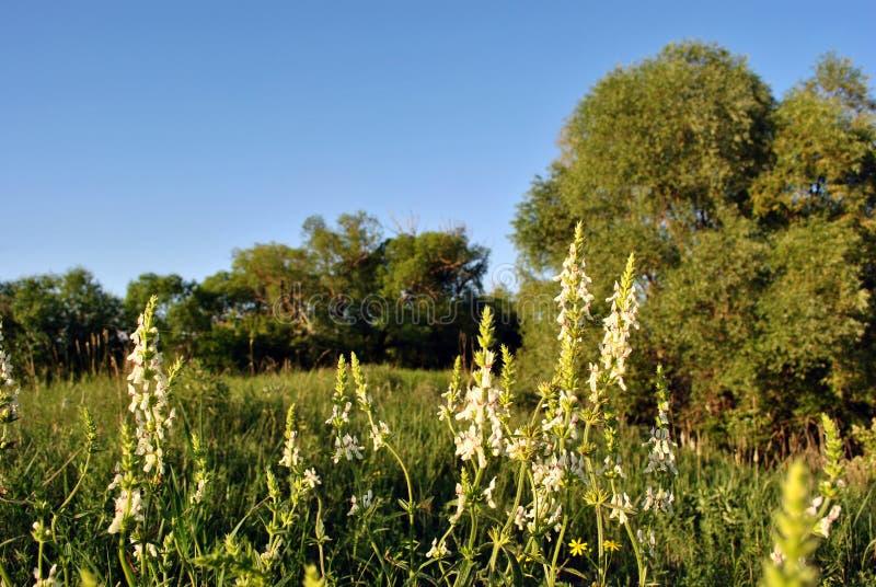 Flores florecientes blancas sabias austríacas del austriaca de Salvia en el claro al borde del bosque, cielo azul fotografía de archivo