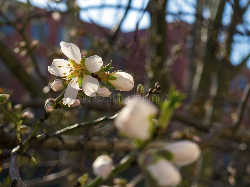 Flores florecientes de la cereza en el árbol fotografía de archivo libre de regalías