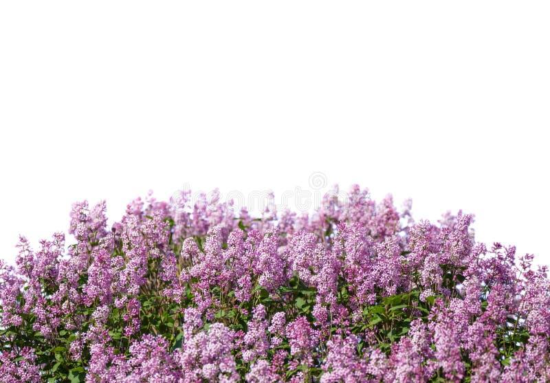 Flores florecientes de la lila fotos de archivo
