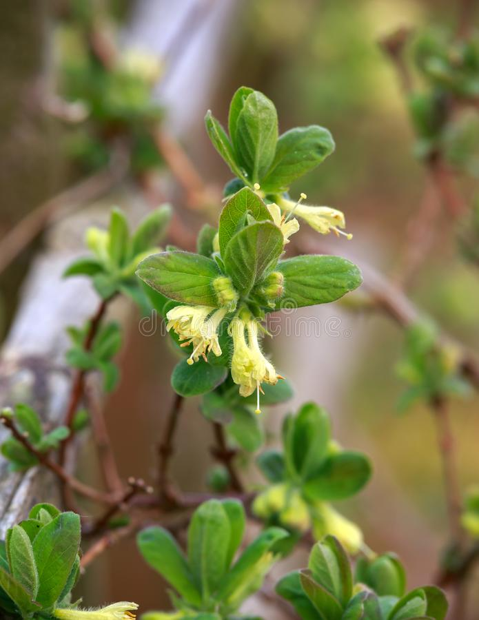 Flores florecientes de la madreselva en jard?n de la primavera Arbusto del caerulea del Lonicera fotos de archivo