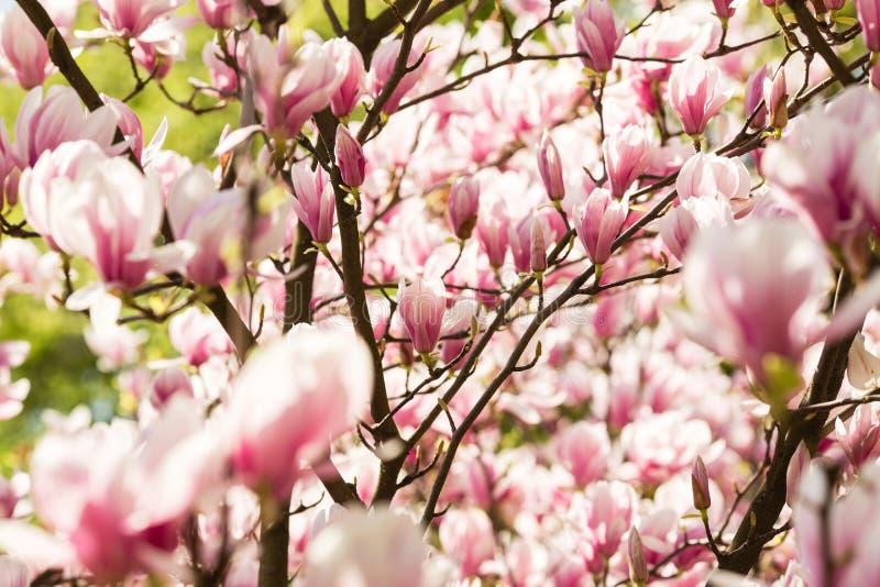 Flores florecientes de la magnolia imagen de archivo