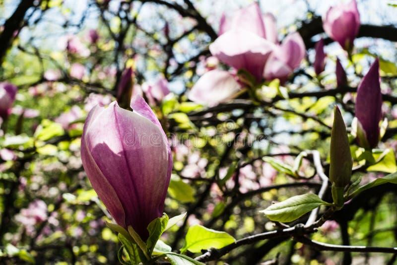Flores florecientes de la magnolia foto de archivo libre de regalías