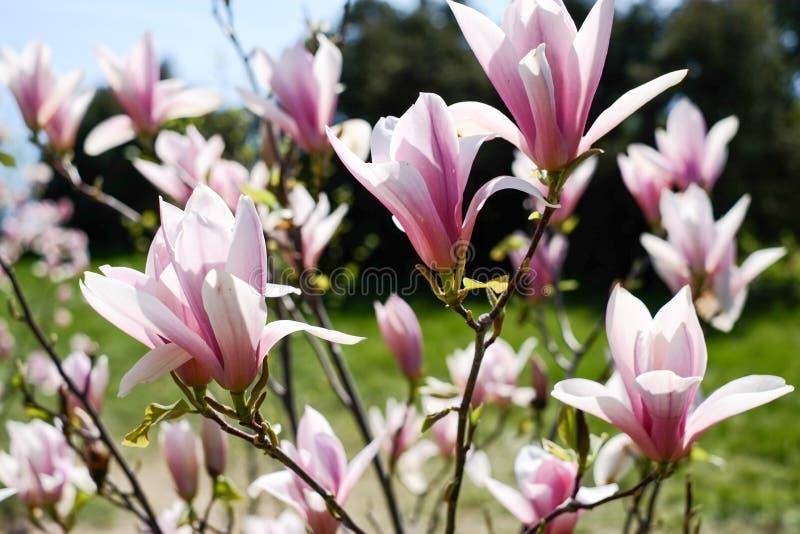 Flores florecientes de la magnolia fotografía de archivo