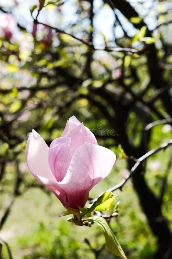 Flores florecientes de la magnolia fotos de archivo libres de regalías