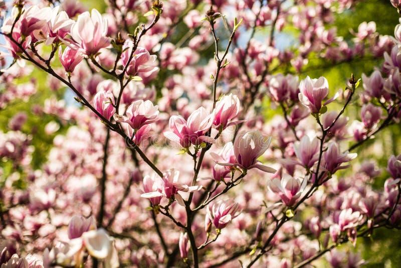 Flores florecientes de la magnolia fotos de archivo