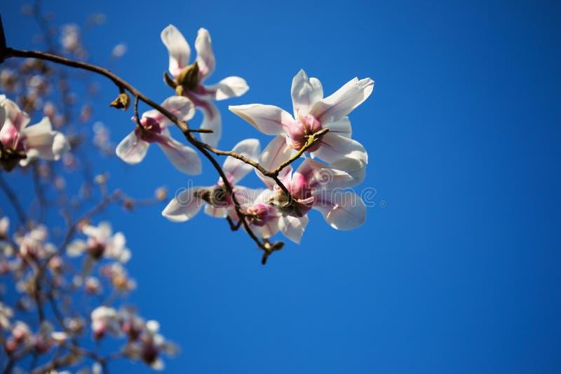 Flores florecientes de la magnolia en la magnolia de Œtwo Joe del ¼ del springï imagen de archivo libre de regalías