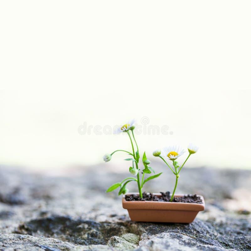 Flores florecientes de la manzanilla en pote de arcilla marrón en el fondo de piedra Foto flor?stica de la vida del tiempo de ver foto de archivo libre de regalías
