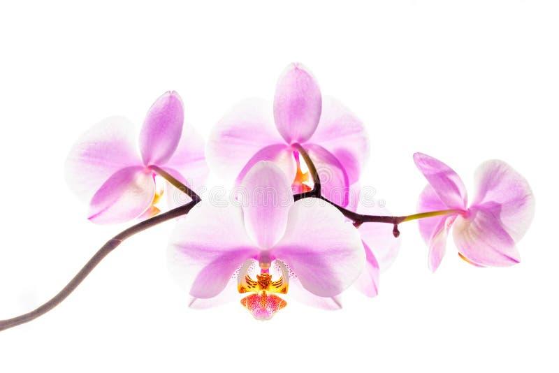 Flores florecientes de la orquídea en el fondo blanco fotos de archivo libres de regalías