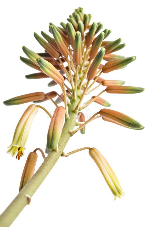 Flores florecientes de Vera del áloe imagen de archivo libre de regalías