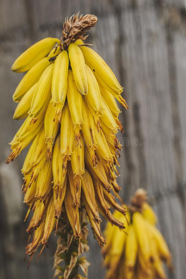 Flores florecientes de Vera del áloe Concepto de las plantas tropicales foto de archivo
