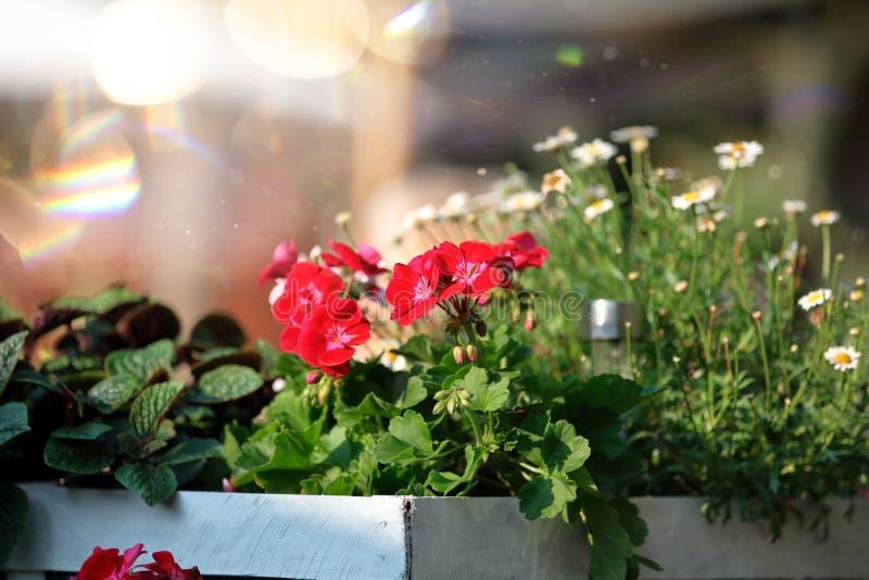 Flores florecientes del geranio del verano en la caja blanca imágenes de archivo libres de regalías