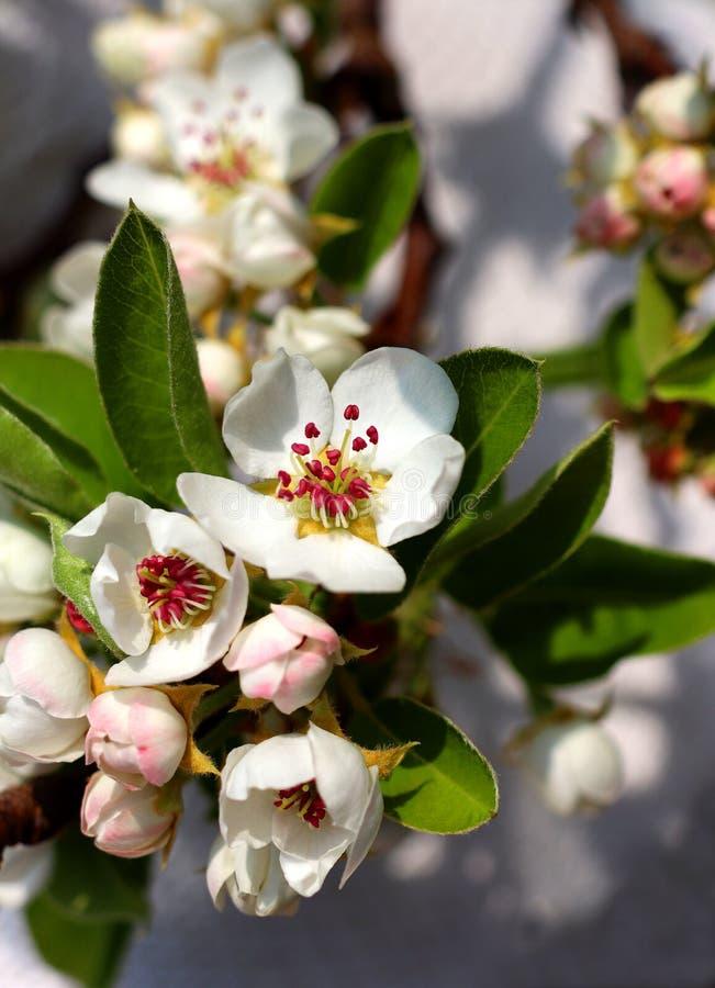 Flores florecientes del peral fotografía de archivo libre de regalías