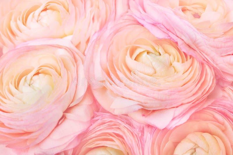 Flores florecientes florecientes del ranúnculo delicado del verano imagenes de archivo