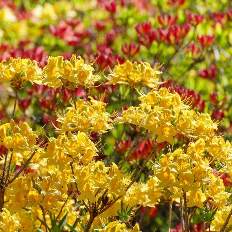 Flores florecientes del rododendro - rojo y amarillo fotos de archivo libres de regalías