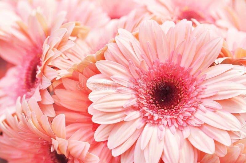 Flores florecientes del rosa del gerbera del verano/del otoño fotos de archivo libres de regalías