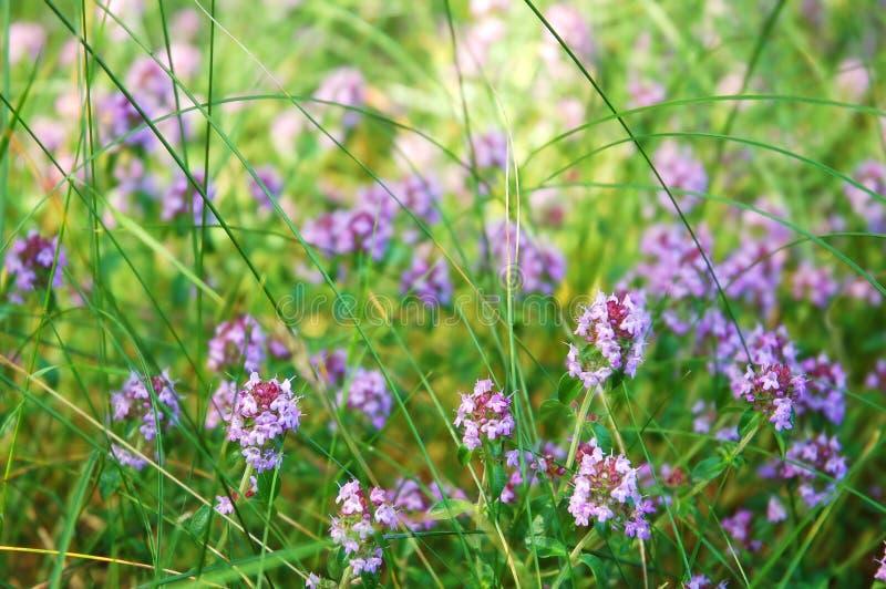 Flores florecientes del tomillo fotos de archivo libres de regalías