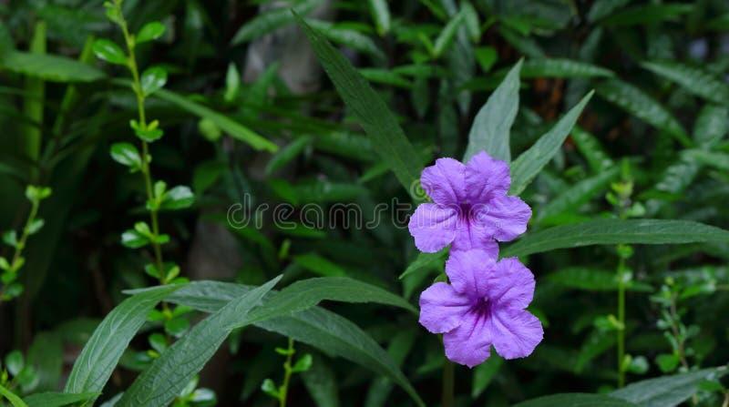 Flores florecientes dobles del pandanus imagen de archivo libre de regalías