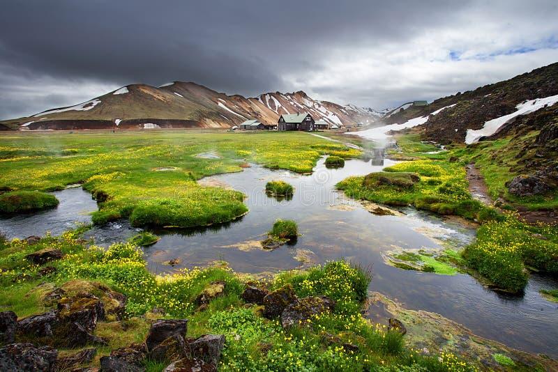 Flores florecientes frescas en Landmannalaugar, Islandia imagen de archivo