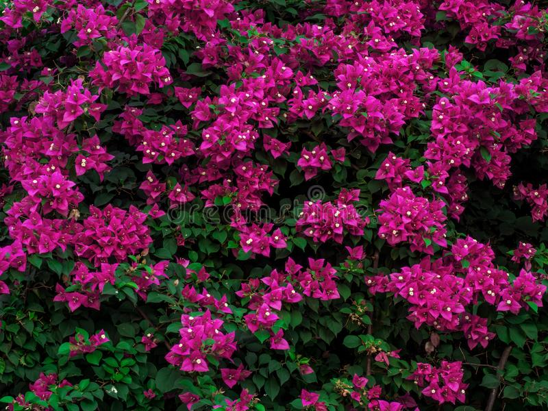 Flores florecientes hermosas de la buganvilla en color rosado con foliages fotos de archivo libres de regalías