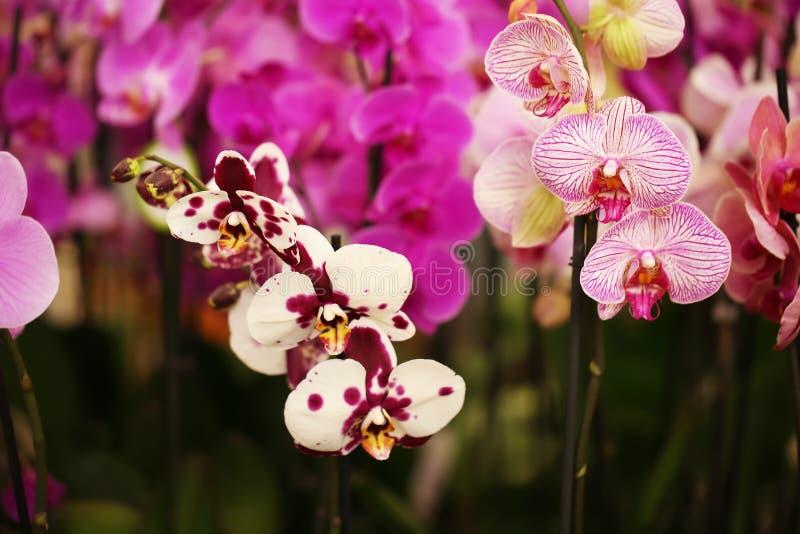 Flores florecientes hermosas de la orquídea, primer imágenes de archivo libres de regalías