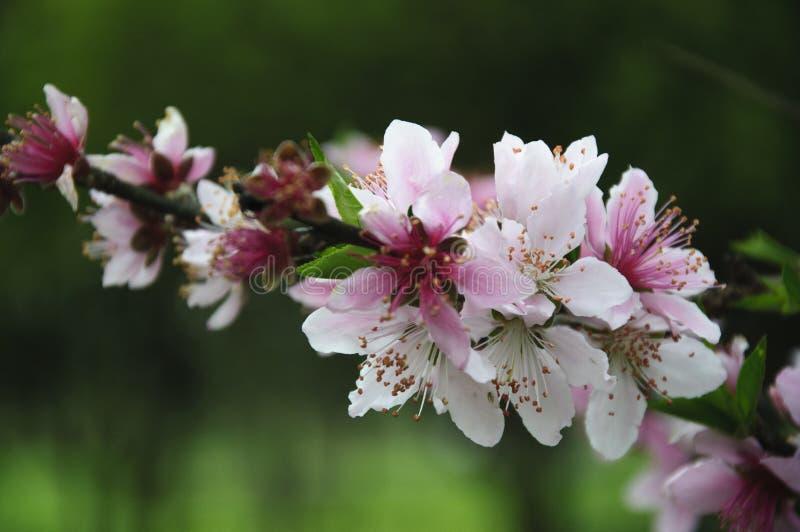 Flores florecientes hermosas del melocotón en primavera imagenes de archivo