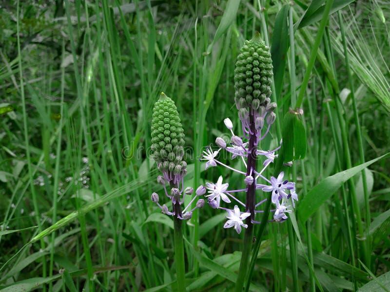 Flores florecientes purpúreas claras de Hyacinth Squill Fondo del paisaje de la hierba verde Campo de la naturaleza del Wildflow imágenes de archivo libres de regalías