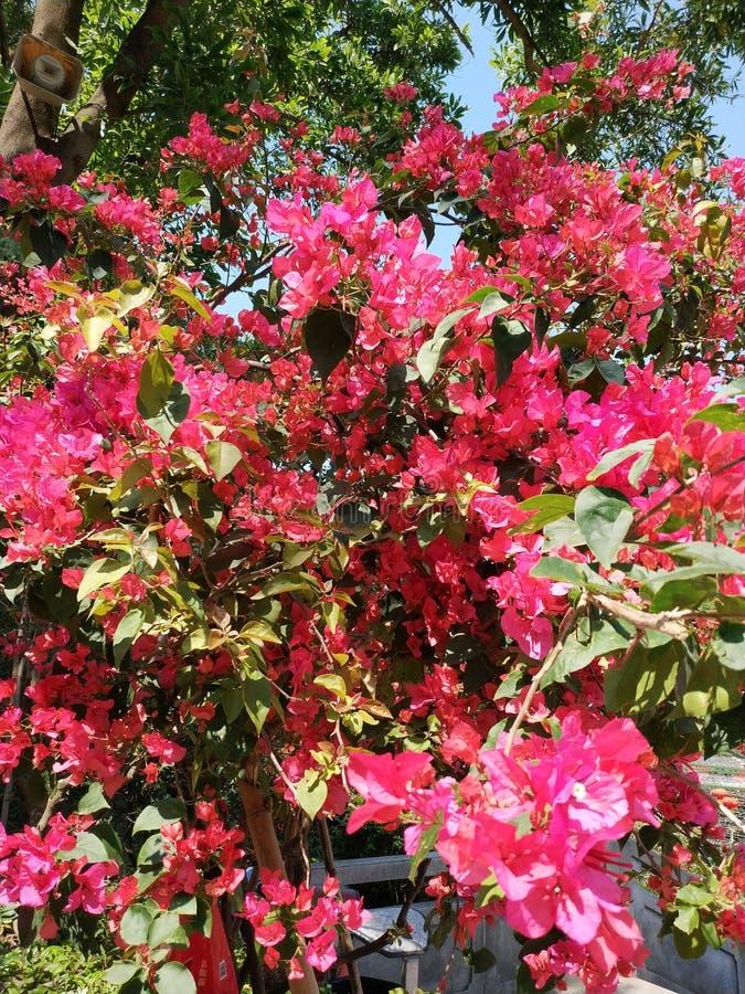 Flores floridas floridas Gorgeous Em fragrância Aromática Total Clusters Blooming fotos de stock