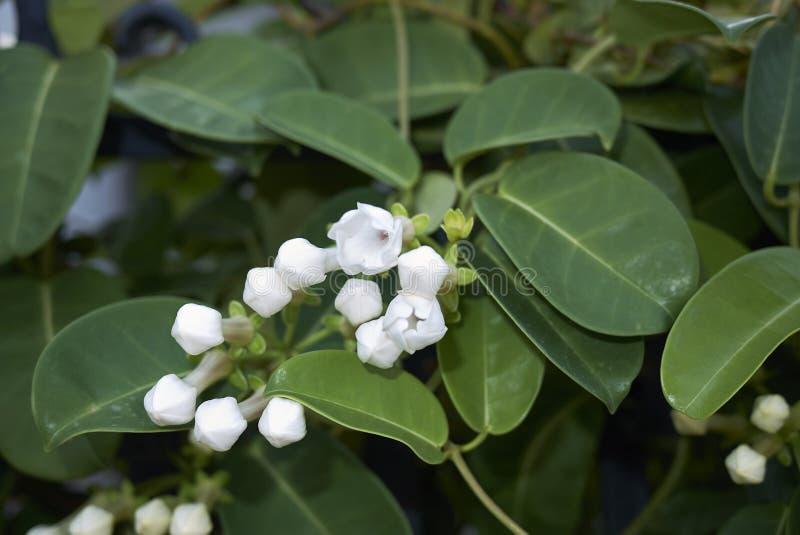 Flores fragantes blancas del floribunda del Stephanotis foto de archivo