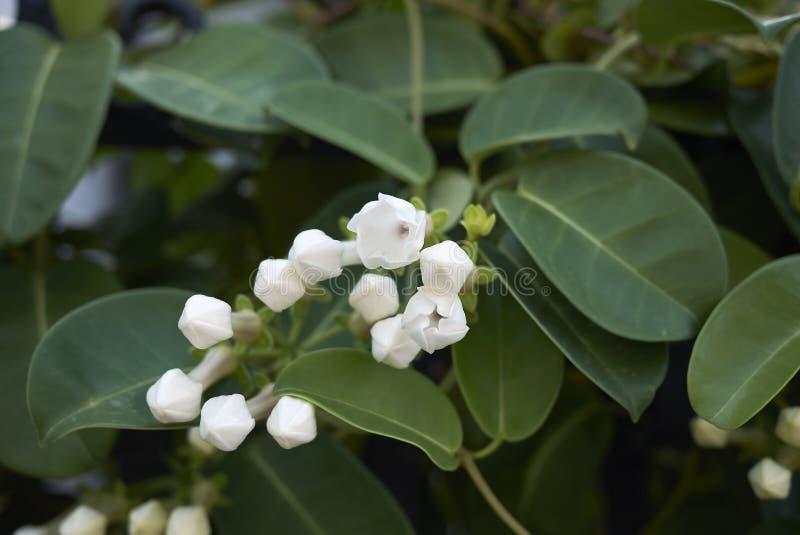 Flores fragantes blancas del floribunda del Stephanotis imágenes de archivo libres de regalías