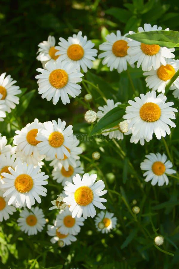 Flores frescas brillantes hermosas de la manzanilla en el jard?n fotografía de archivo libre de regalías