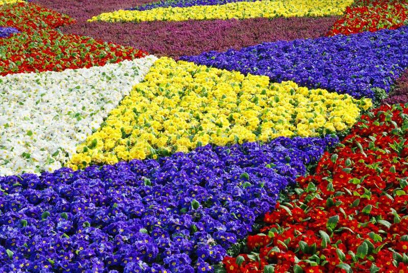 Flores frescas coloridas da prímula da mola imagem de stock