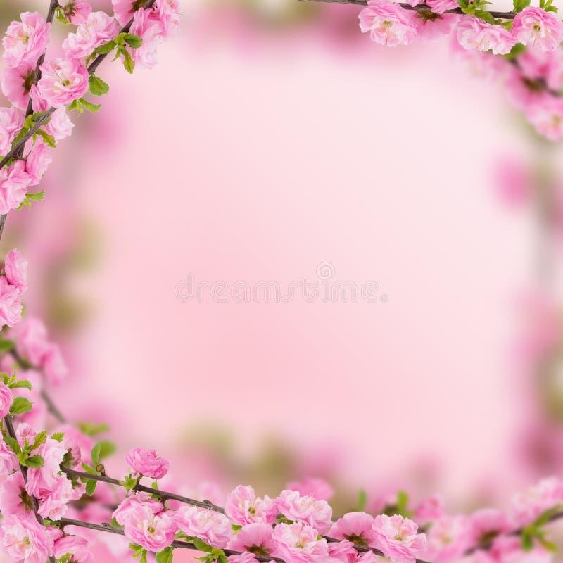 Flores frescas de la almendra en fondo rosado. imagen de archivo libre de regalías
